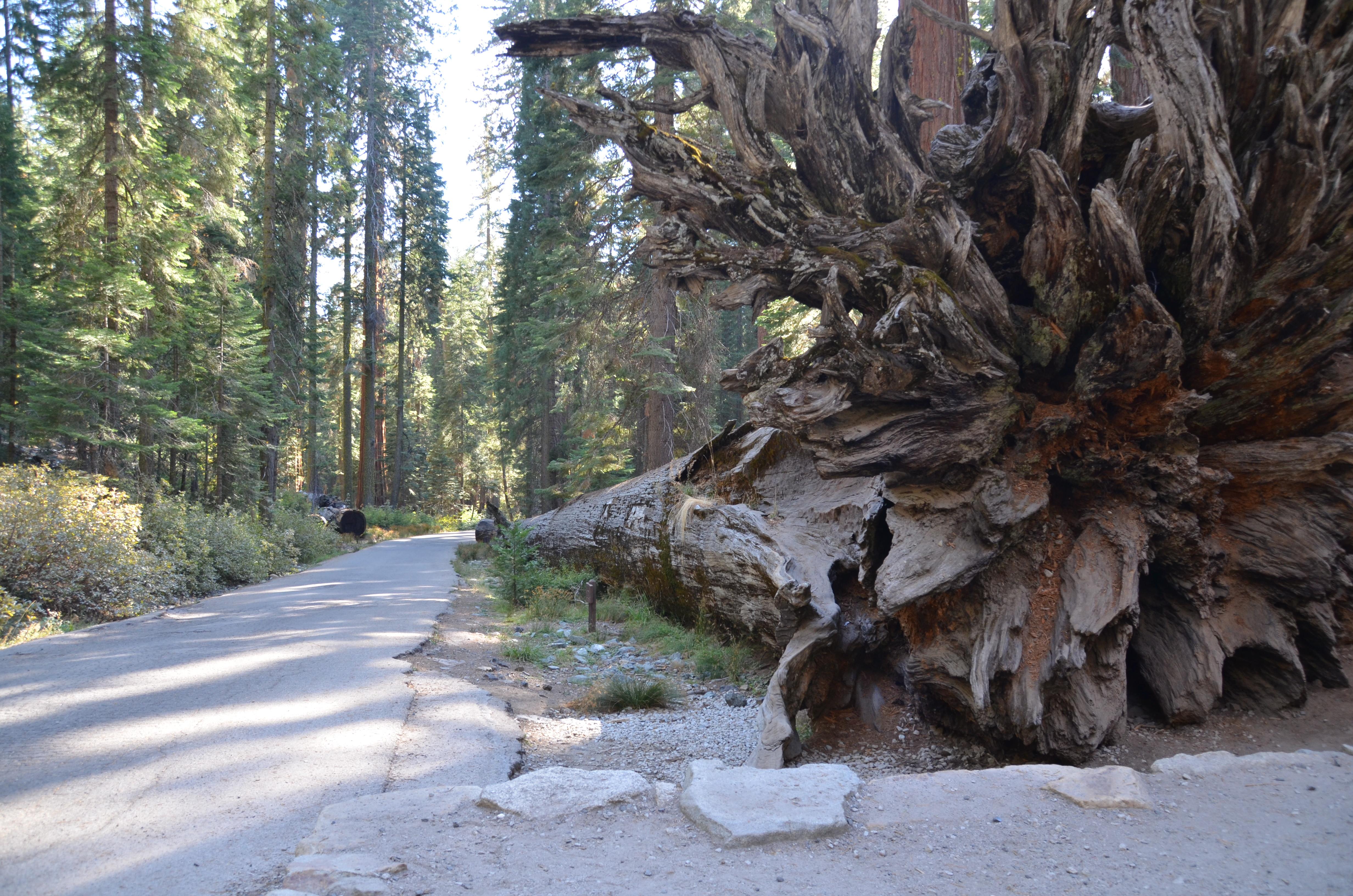 Sequoia Wurzel